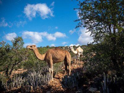 tamraght-hiking-camels-caravan
