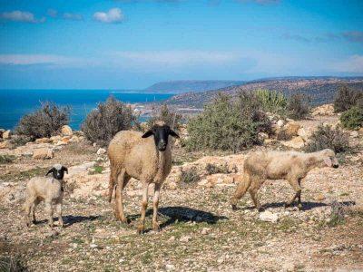 tamraght-hiking-sheep
