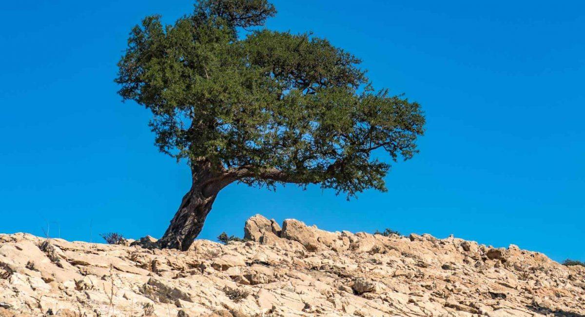 windy-argan-tree